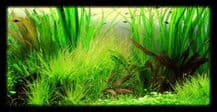 Discus Aquarium Plant Collections