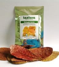 Catappa Leaves Medium (13-18cm) x 10