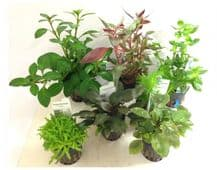 Dutch Aquascaping Plant Collection for Tanks up to 24""