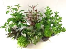 Dutch Aquascaping Plant Collection for Tanks up to 30""