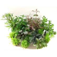 Dutch Aquascaping Plant Collection for Tanks up to 48""