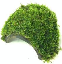 Java Moss on Half Coconut with 3 Holes.