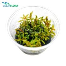 Nesaea Pedicellata Golden Tissue Culture Ecco Scape