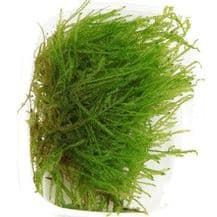 Spiky moss Tropica Portion