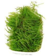 Vesicularia Ferriei 'Weeping' Moss Portion