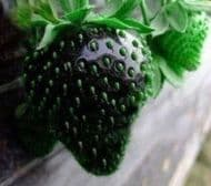 Black Strawberry 20 Seeds -Lower in Sugar and Acid!Delicious