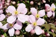 Clematis Montana Perfumed 10 Seeds -Heavy Blooming Vine,Marshmallows Scent