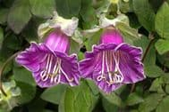 Cobaea Scandens Purple 5 seeds, Cup and Saucer Vine, exotic looking plant