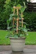 Cucumber Patio Snacker 10 seeds - high yielding variety, great container veg