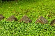 Dichondra Repens 600 Seeds - No Mow Lawn -Soft, Intensive Green, Fill Spaces