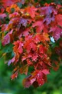 Fernleaf Fullmoon Maple 10 Seeds , Acer Japonicum -Bold and beautiful tree