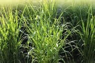 Frosted Explosion Grass 10 Seeds - Panicum Elegans -Dramatic Grass, Easy to Grow