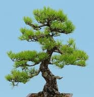 Japanese Black Pine-10 Fresh Seeds,Excellent for Bonsai