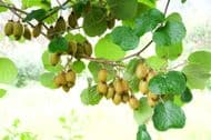 Kiwi Issai 10 Seeds - exceptionally sweet, bumper crops, hardy to -25 deg C!!!