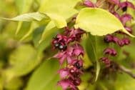 Leycesteria Formosa Gold Leaf 30 Seeds -Lime Leaves,Wine Colour