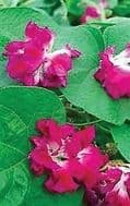 Morning Glory Split Second 10 Seeds- Best double flowered variety