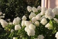 Panicle Hydrangea 10 Seeds -Showy,Heavy Blooms.Small Shrub