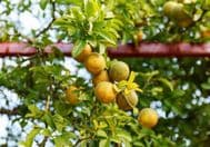 Poncirus Trifoliata 5 Seeds - Hardy Orange Tree, Citrus