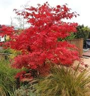 Red Japanese Maple 5 Seeds, Acer Palmatum Intensive Color