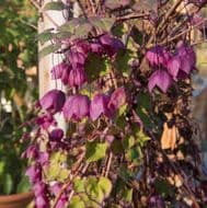 Rhodochiton Vine 5 Seeds - Showy Vine, Blooming Heavily,Flowers First Year
