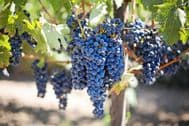 Riverbank Grape Seeds- Hardy,Delicious Fruits,Flowering