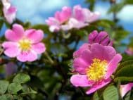 Rosa Canina - Dog Rose 10 Seeds - Outstanding variety