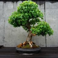 Trident Maple Small Leaf Seeds- Excellent Bonsai, Rare