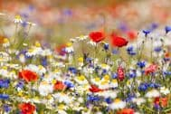 Wild Flower Seeds, English Flowers,Meadow Mix, ONLY FLOWERS - 40 g-Bulk,Bargain